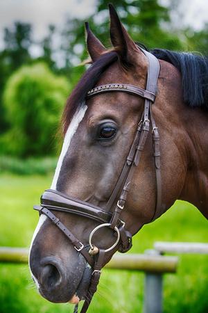 portrait of beautiful brown horse on farmland