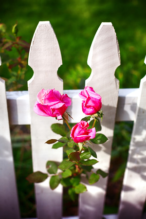 beautiful white picket fence and pink roses