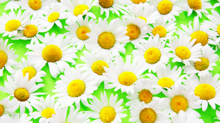 Closeup of beautiful daisies on an green background Stock Photo