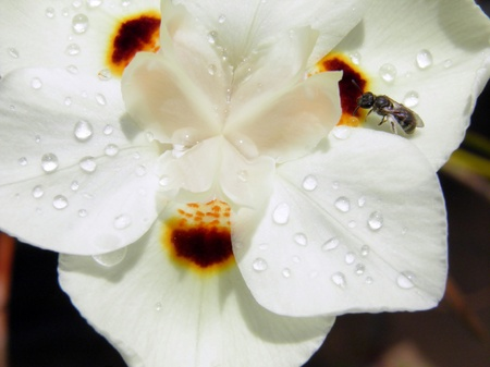 bi: Macro image of Iris bi color in sunlight with an insect and raindrops on petals