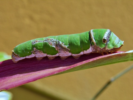 Makro image of big green caterpillar on plant leaf in spring sunlight photo