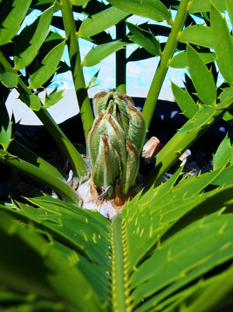 Close up of the heart of karoo cycad e lehmannii with new leafs Stock Photo - 11286067