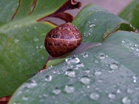 Macro image of snail on wet lily leaf Stock Photo - 11466533