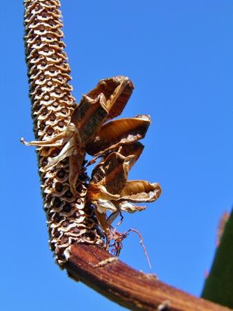 aloe vera flowers: close up of dry Aloe Vera flowers
