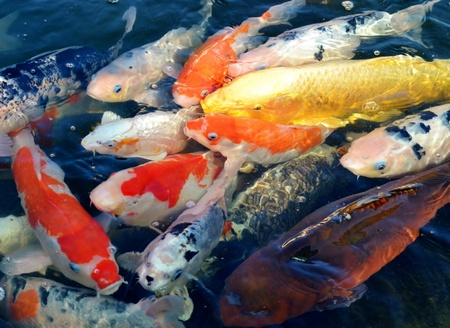 Colorful ornamental koi fish in pond Stock Photo - 11850782