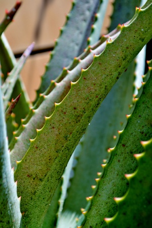 Close up of  aloe vera leaf with thorns Stock Photo - 13020177