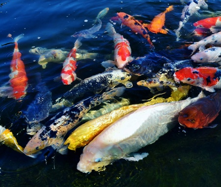 Colorful ornamental koi fish in pond Stock Photo - 13020126
