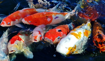 Colorful ornamental koi fish in pond Stock Photo - 13020170
