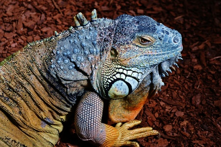 Close up of Iguana Lizard photo