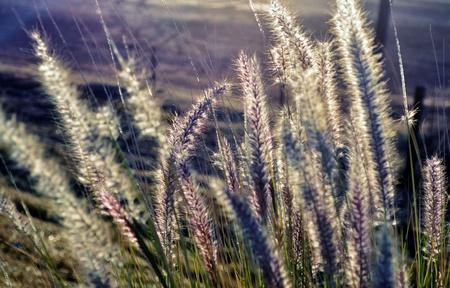 buffalo grass: blue buffalo grass bristles in bright morning sunlight