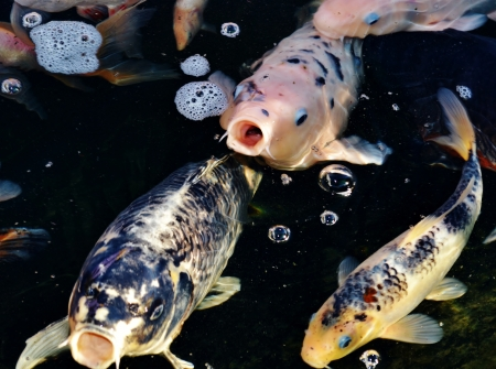 Colorful ornamental koi fish in pond photo