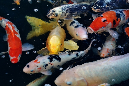 Colorful ornamental koi fish in pond Stock Photo - 14124942