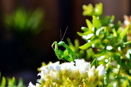 Close up of green praying mantis on flower photo