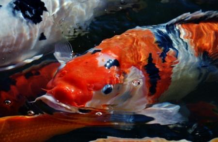 Colorful ornamental koi fish in pond photo