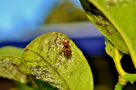 hover: Close up of hover fly on green leaf