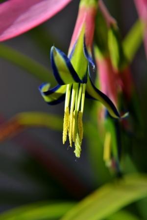 billbergia: Close up of Billbergia nutans Queen s tears flower