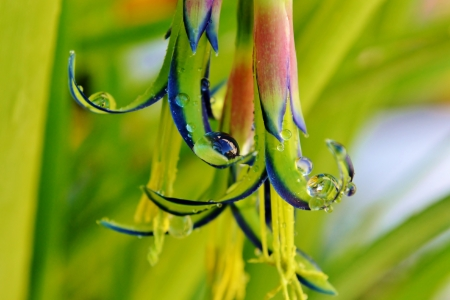 billbergia: Close up of Billbergia nutans Queen s tears flower with Raindrops