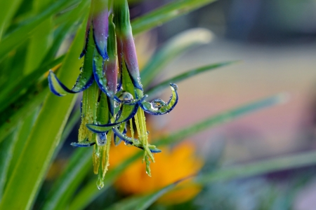 Close up of Billbergia nutans Queen s tears flower with Raindrops
