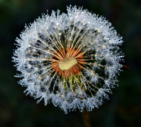 Close up of Dandelion with sparkling dew drops photo