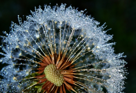 Close up of Dandelion with sparkling dew drops