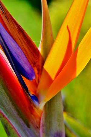 bird of paradise: Close up of new stelitzia reginae flower