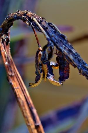 dried up: Close up of dried up aloe vera blossom