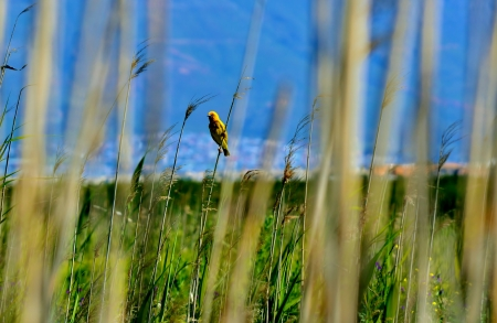 weaver bird: Yellow weaver bird sitting on dry reed stem