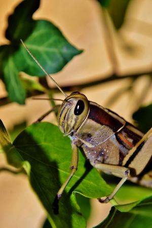 langosta: Locust grande Foto de archivo