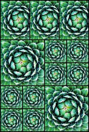 regina: Collage of Agave Victoria Regina pictures Stock Photo