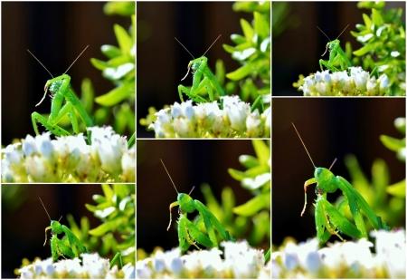 Collage of green praying mantis on white flower photo
