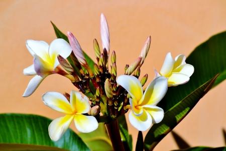 Close up of frangipani blossom in sunlight photo