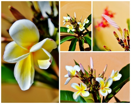 Collage of frangipani blossoms in sunlight photo