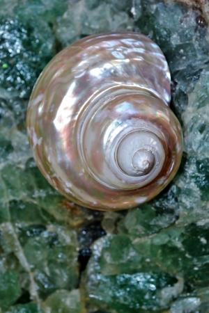 fluorite: Close up of sea snail shell on fluorite
