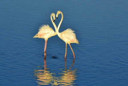 Lesser Flamingos feeding in the Milneton Lagoon early in the morning photo