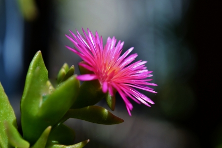 iceplant: Close up of pink heartleaf iceplant blossom