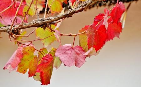 autum: Close up autum colored wild wine leafs