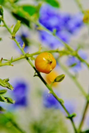 showers: Close up of yellow berry on Sapphire Showers,