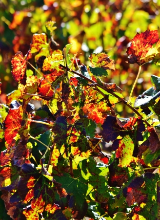 autum: Close up of colorful wine leafs in autum sun light Stock Photo