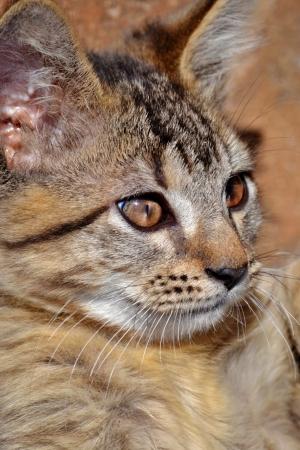 occhi grandi: Primo piano di piccolo gatto con grandi occhi Archivio Fotografico
