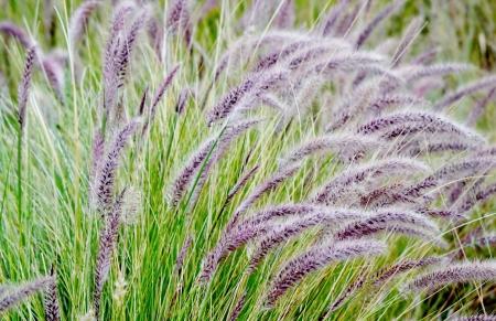buffalo grass: Close up of blue buffalo grass