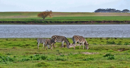 grassing: Landscape with zebras grassing on green meadow