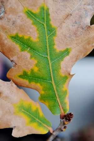 dried up: Close up of dried up brown and green oak leafs