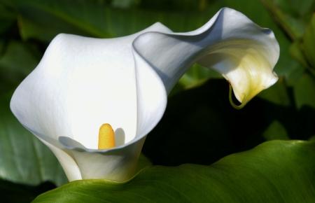 arum: Close up of beautiful white Arum Lily