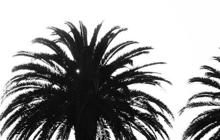 fondo blanco y negro: Palmera de cerca al amanecer en blanco negro