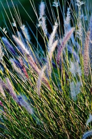 buffalo grass: Close up of Blue Buffalo grass in bright sunlight