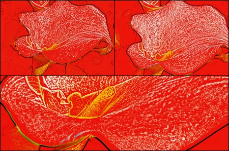 arum: Collage of white arum lily in red