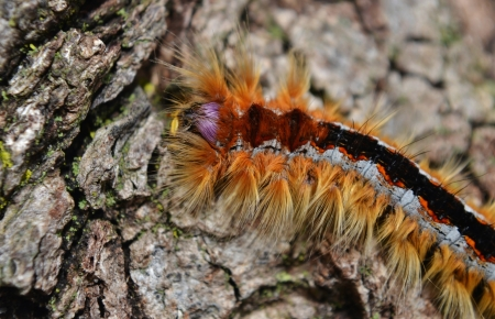 lappet: Close up of a caterpillar of the Lappet Moth Stock Photo