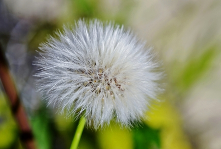 Close up of false dandelion parachute seeds photo