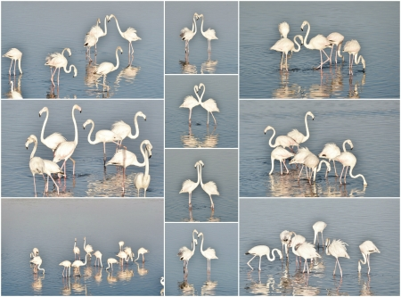 Collage of lesser Flamingos  feeding in the Milneton Lagoon early in the morning photo