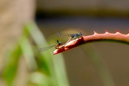 damselfly: Close up of Common Blue Damselfly during mating Stock Photo